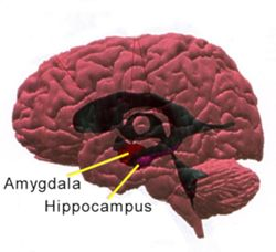 Amygdala_hippocampus_lateral_large1